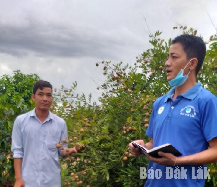 Cán bộ đoàn xã Ia Lốp khảo sát vườn nhãn để giúp nông dân tiêu thụ
